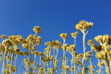 Helichrysum italicum sky immortelle farm