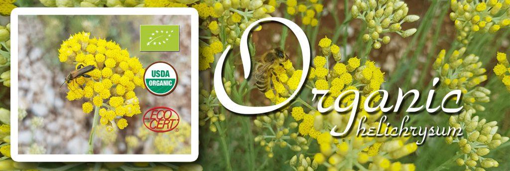 Organic helichrysum oil farm novi dan