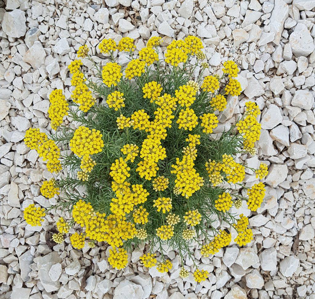 helichrysum plant on rocky soil
