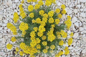 helichrysum plant on rocky soil