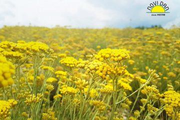 helichrysum plants mediteranean gold