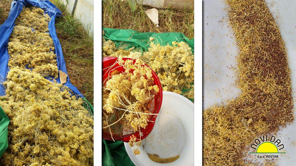 helichrysum sieve flowers seeds novi dan