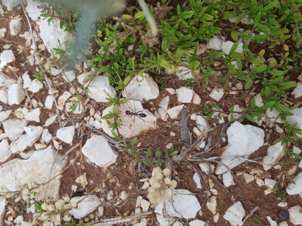Helichrysum italicum essential oil ant