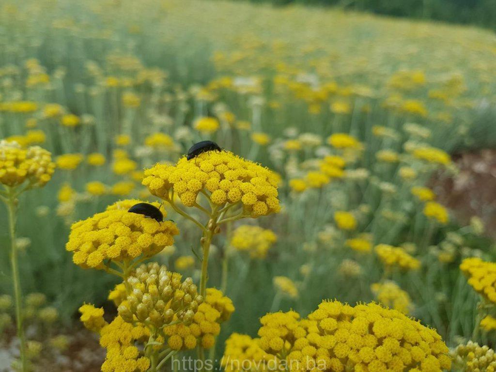 Helichrysum italicum essential oil bugs