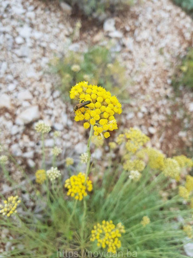 Helichrysum italicum essential oil fly