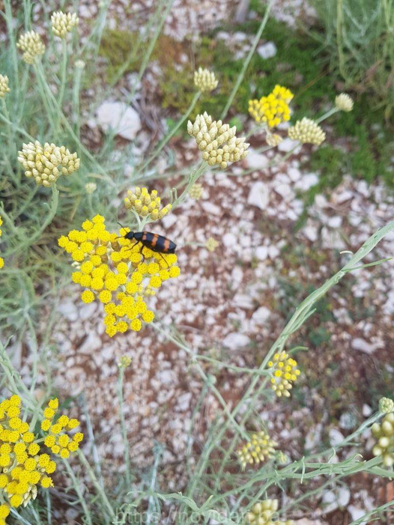Helichrysum italicum essential oil fly flower