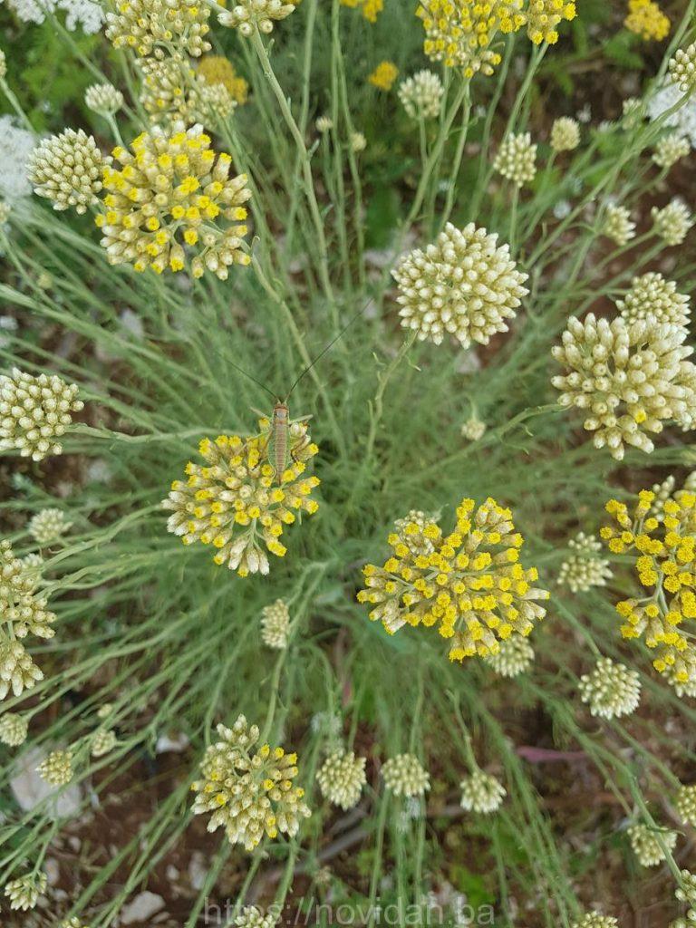 Helichrysum italicum essential oil grasshopper