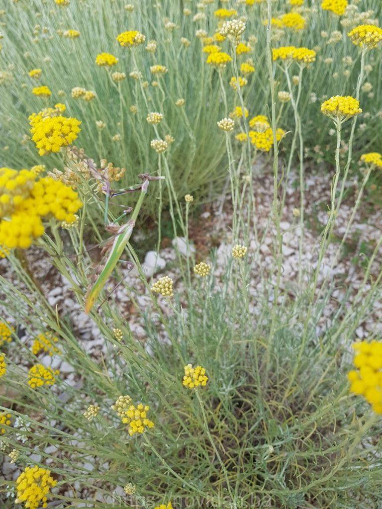 Helichrysum italicum essential oil mantis