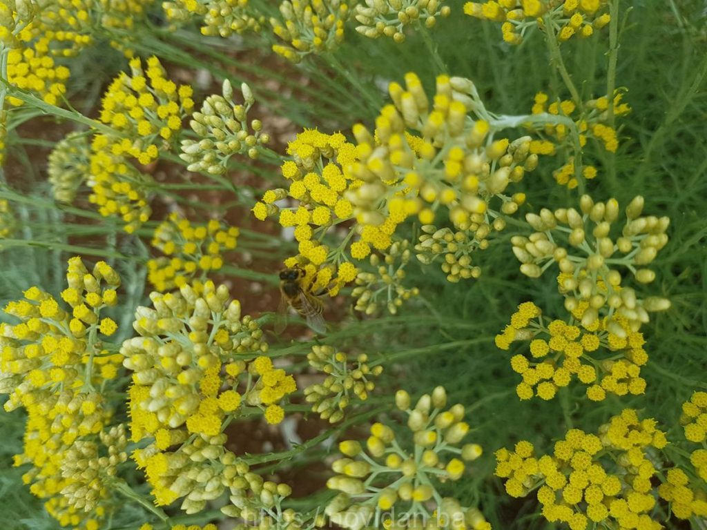 Helichrysum italicum essential oil organic bee flower