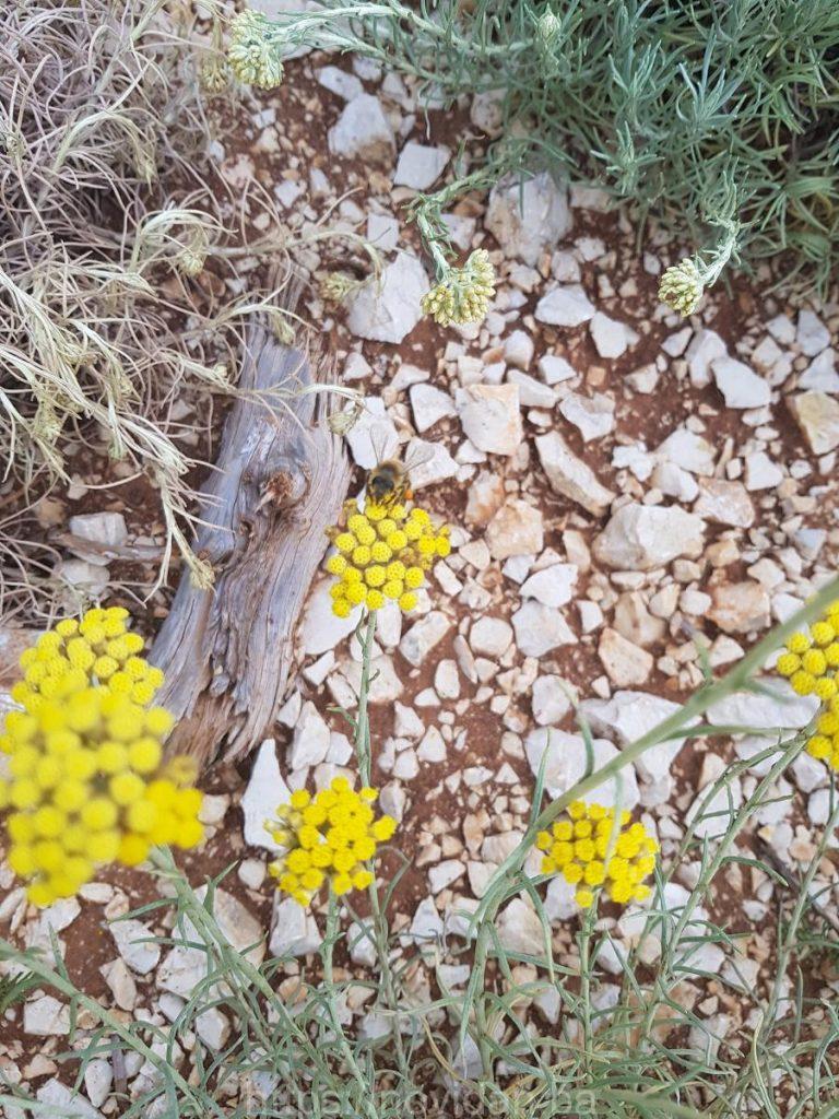 Helichrysum italicum essential oil organic bee2