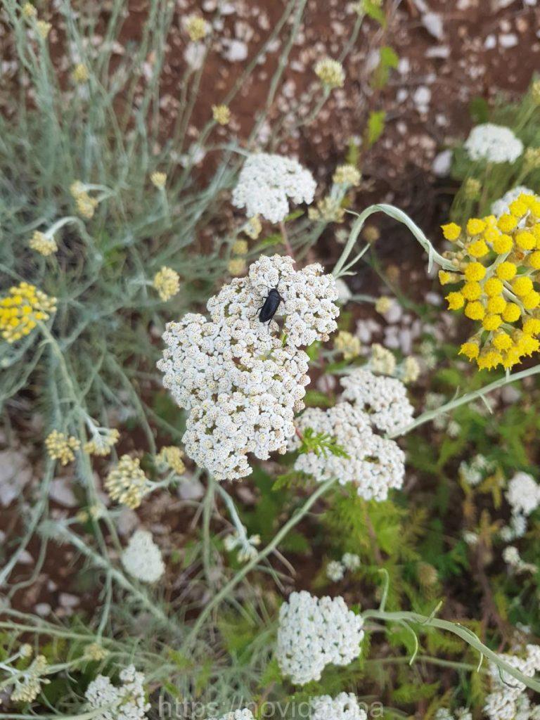 Helichrysum italicum essential oil organic bug