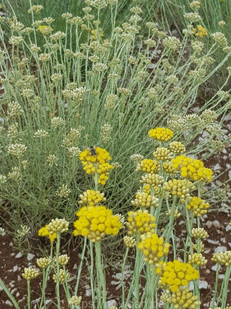 Helichrysum italicum essential oil organic fly