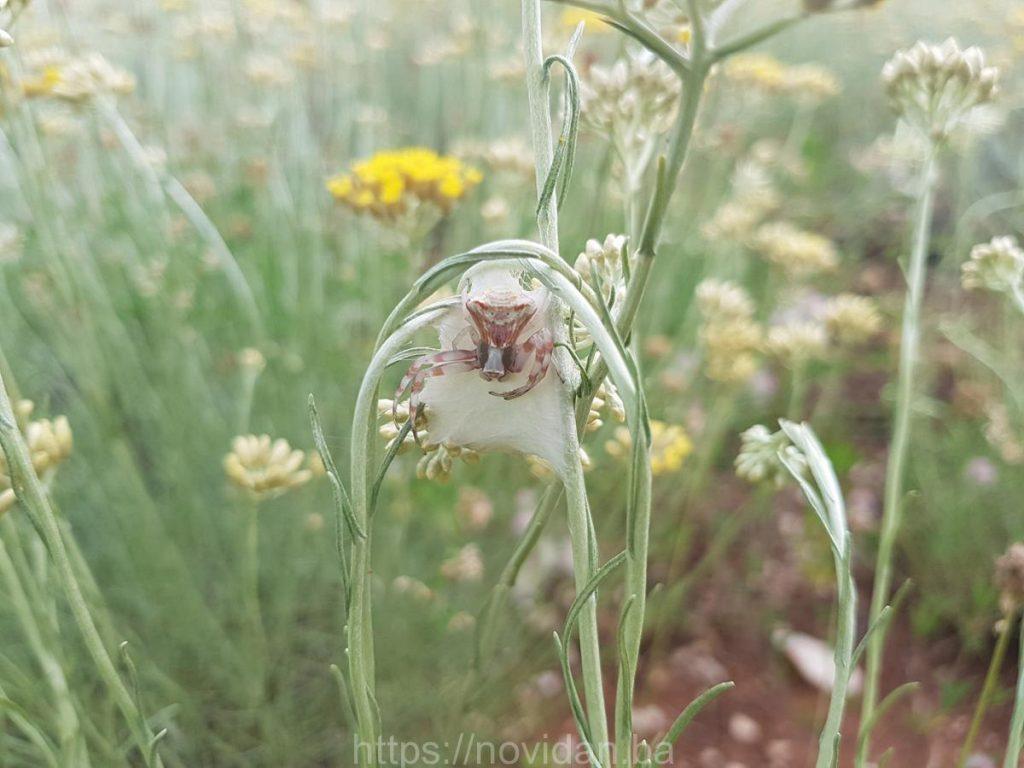 Helichrysum italicum essential oil organic net