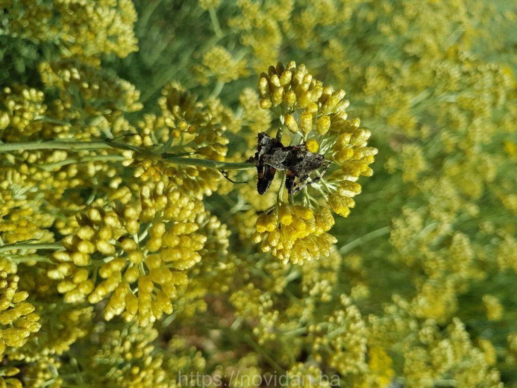 Helichrysum italicum essential oil organic spider