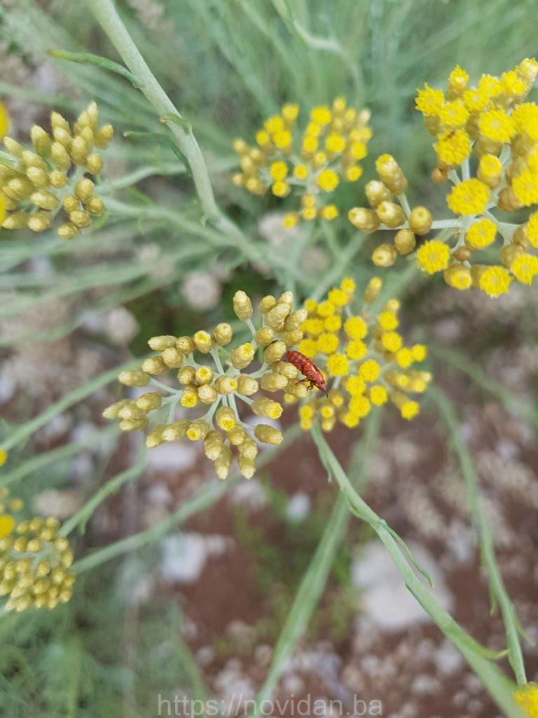 Helichrysum italicum essential oil red fly