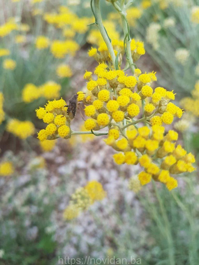 Helichrysum italicum essential oil stink bug