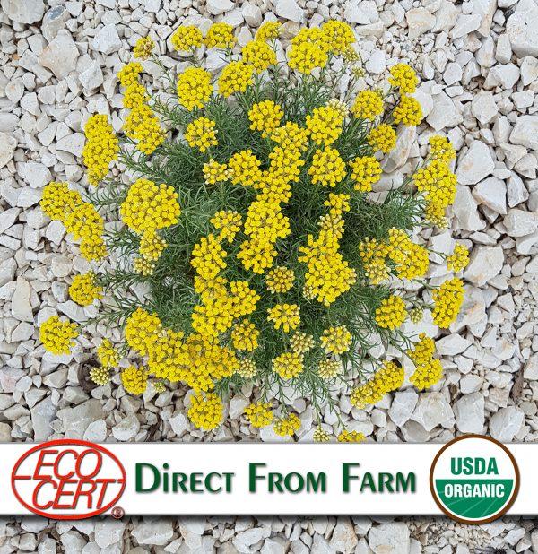Buy organic helichrysum essentia oil