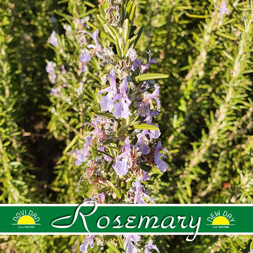 rosemary on helichrysum farm