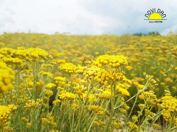 helichrysum farm organic